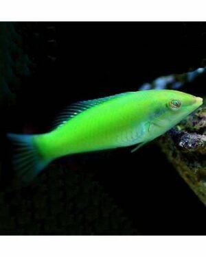 Lipvissen